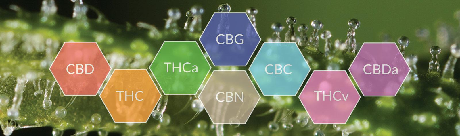 Le cannabis, l'herbe aux cannabinoïdes