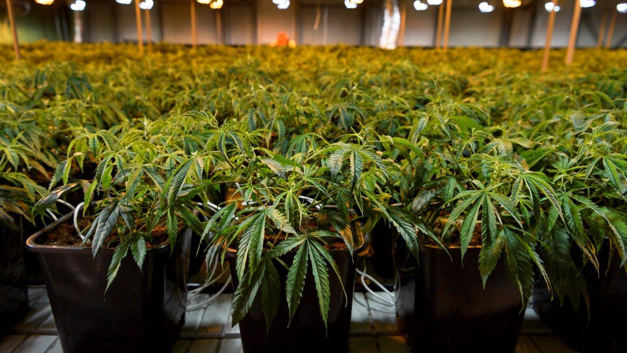Le gouvernement belge à déjà gagné des millions d'euros avec le cannabis